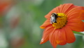 Bee is collecting pollen from bright orange flower. Summer background with insect in garden. 57072180