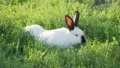 White rabbit with black ears crawling in grass. Summer sunset background with fluffy farm animal. 57072181