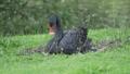 Black swan, Cygnus atratus. Large waterbird is sitting on grass. 57102899