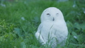 Snowy owl Bubo scandiacus is napping on grass. Beautiful white night bird. 57103281