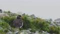 流れる霧と夏羽のライチョウ雄 57133118