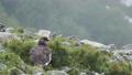 流れる霧と夏羽のライチョウ雄 57133119