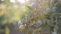 A lot of Apple fruits on the Apple tree in the setting sunlight. 57155695