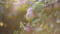 Sunset Sun rays Shine on bright juicy fruits, apples as in the garden of Eden. 57155697