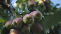 The time to harvest. Fruit trees. The fruit is juicy ripe pears on branch in the garden. 57155710