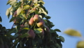 The fruit of pears on a fruit tree branch at sunset on blue sky background. 57155712