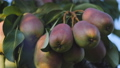 The branches of the pear tree hanging down under the weight of ripe juicy fruits. 57155723