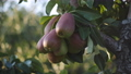 Spilve the juicy fruit of the pear on the branch of a pear tree in the orchard at sunset. 57155727