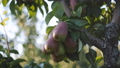 Bunches of juicy ripe pear fruits hanging on a branch on a tree in the orchard at sunset. 57155730