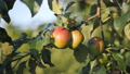 Apple tree with red apples close up in sunset. Red apple grow on a branch. 57155732