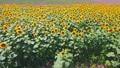 4K-向日葵和海灘航拍視頻 57155857