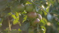 Branches of Apple trees droop under the weight of ripe Apple fruits at sunset in rays of setting sun 57157385