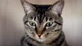 あくびをする猫 57354054