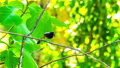 White-rumped Shama Bird waiting to give food to its new born bird in the nest at branch of a tree 57434276
