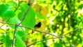 White-rumped Shama Bird with food for new born bird in its mounth prepare to fly to its nest. 57434277