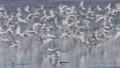 飛び立つコアジサシの群れ 57479197