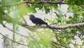 Bird (Asian koel) on tree in nature wild 57579371