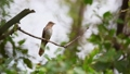 Bird (Plaintive Cuckoo) in a nature wild 57579394