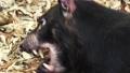 Australian Tasmanian Devil 57587961