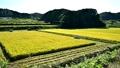 나라현 갓 시골 풍경 벼 베기 57751458
