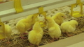 Many the cutest little chickens drinking water in farm 57757602