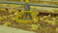 View of little chickens and theirs behaviour in routine life on farm 57757605
