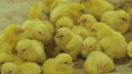 Beautiful routine life of little, cute chickens on farm 57757608