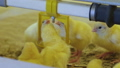 Close view of little chickens drinking water on farm 57757609