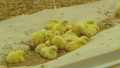 Beautiful routine life of little, cute chickens on farm 57757611