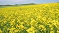 一面の菜の花(北海道 安平 移動撮影) 57792853