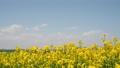 一面の菜の花(北海道 安平 手持ち撮影) 57792857