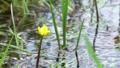 栃木県日光市 シモツケコウホネ (8月) 奥から手前の花へパン ピン送り奥から手前へ 57984078