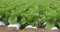 白菜畑 フィックス 58171938