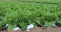 白菜畑 パン 58171944