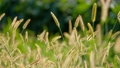 【動画素材】ねこじゃらし 草 秋 背景 素材 スローモーション ハイスピード撮影 58173850
