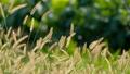 【動画素材】ねこじゃらし 草 秋 背景 素材 スローモーション ハイスピード撮影 58173852