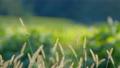 【動画素材】ねこじゃらしを上り下りするてんとう虫 草 秋 背景 素材 58173899