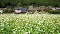 美山茅草花盛开 58212067