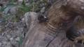 枯木を登るシラホシハナムグリ 58456519