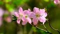 Blooming sakura cherry blossom 58470177