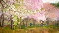 Blooming sakura cherry blossom 58481723
