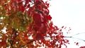 Red Apple leaves on a branch swaying in the wind under the autumn sky 58651634