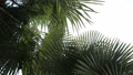 Palm branches with leaves. Deep dark green palm leaves. Coconut palm trees, beautiful tropical 58675937