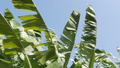 Large banana leaves of a tropical plant develop in the wind against the blue sky. 58677864