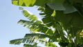 Large banana leaves of a tropical plant develop in the wind against the blue sky. 58678399