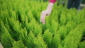 Local business - sale of plants. Woman business owner takes out a small seedling of green arborvitae 58716823