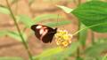 HD - Postman Butterfly. Slow motion 58827066