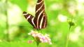 HD - Zebra Butterfly. Slow motion 58827067