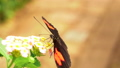 HD - Postman Butterfly. Slow motion close-up 58827068