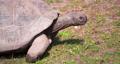 4K - Giant Galapagos tortoise runs 58872822